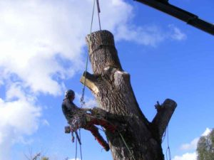 Contract Climbing Tree Removal